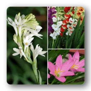 YEAR ROUND SOWING BULBS (10C TO 34C)