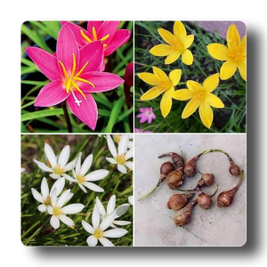 ZEPHYRANTHES LILY BULBS
