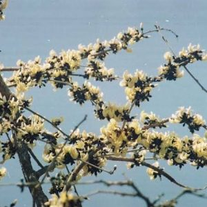 All Offer White & yellow Palash Plants